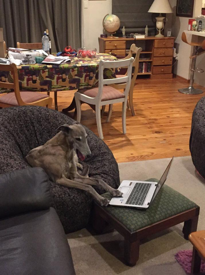 Aria checking the bookings to see if any of her greyhound friends are coming to stay.